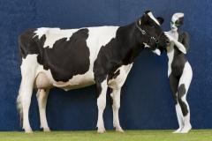 ANIMAL ART Bodypainting COW  (Bodypaintingmodell: Roxy / Fotograf: CH. Massfeller)